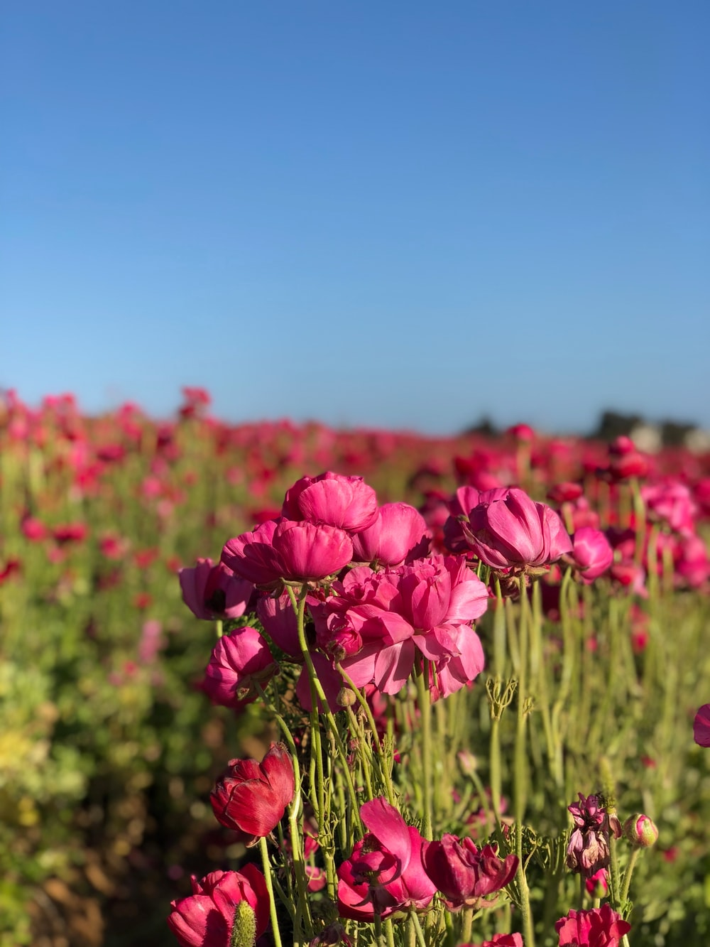 pink peony flower field
