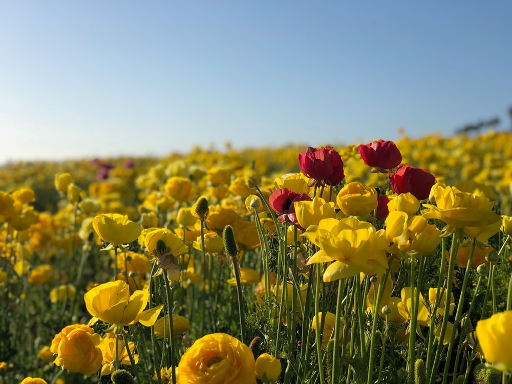 landscape photo of red and yellow flowers