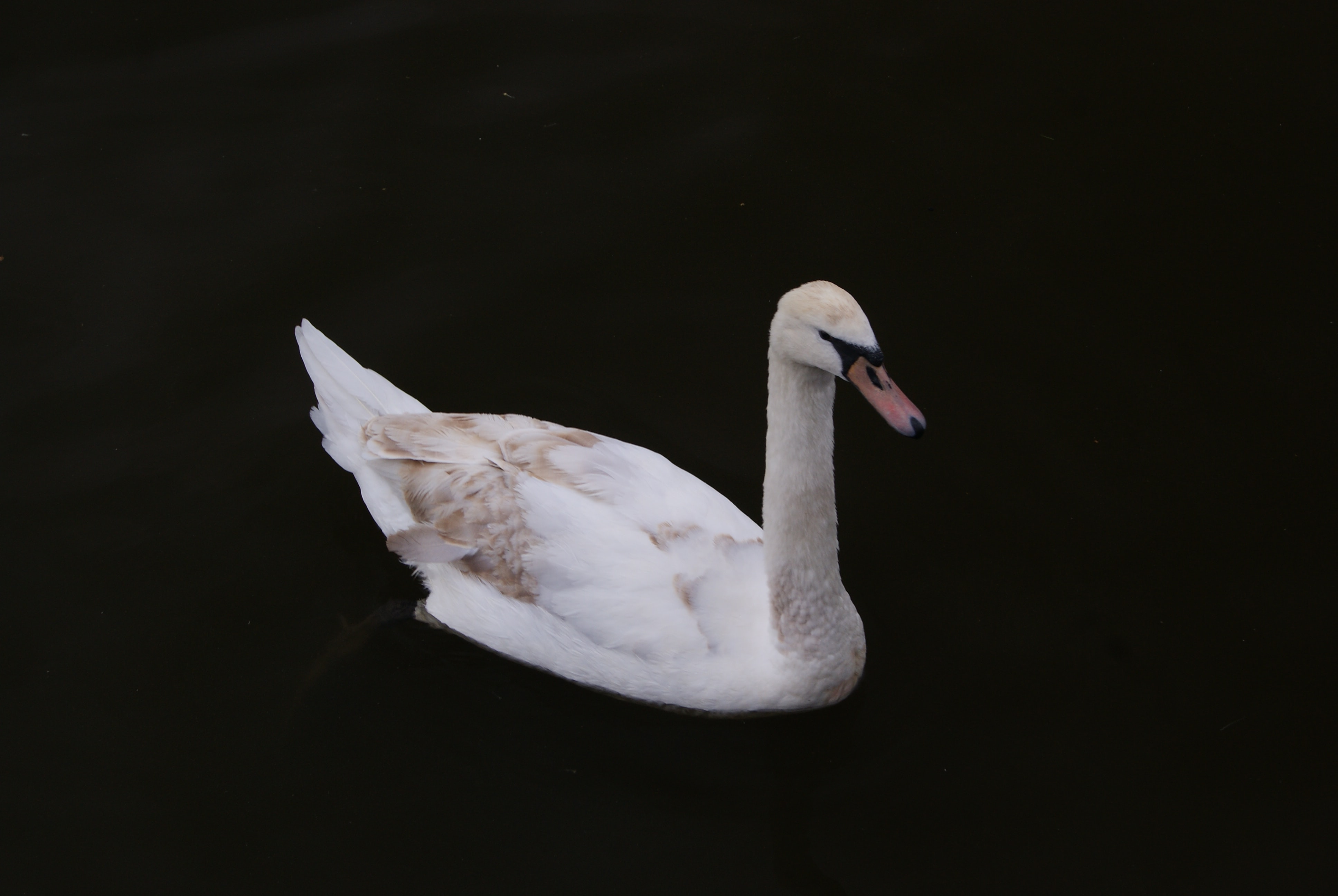 white and beige swan