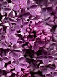 Lilac lilies lilies stories