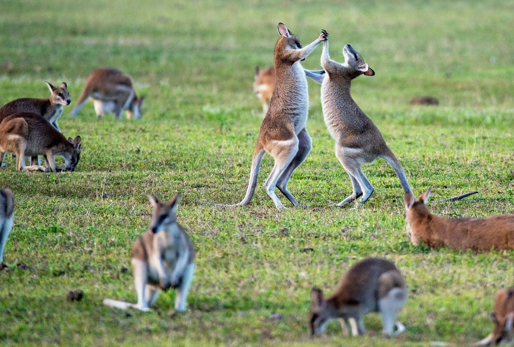 kangaroos on grass field
