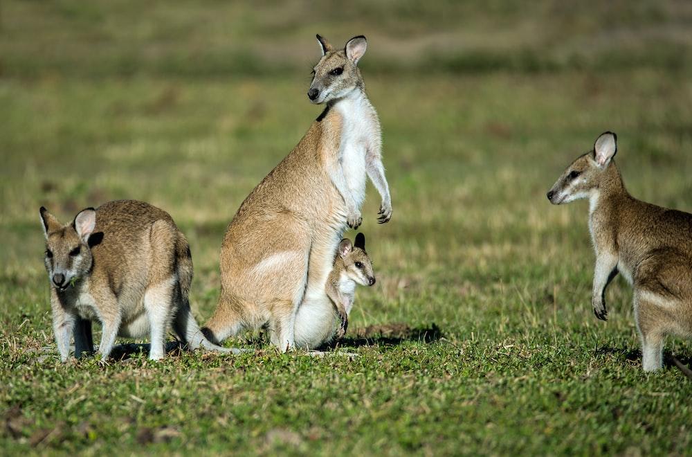 group of kangaroos on green grass