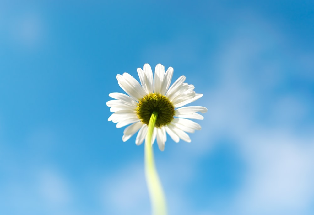 macro shot of white daisy flower