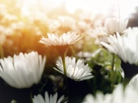 Daisies happily live in their own beautiful and sunny world. Yes, until we pick them up…