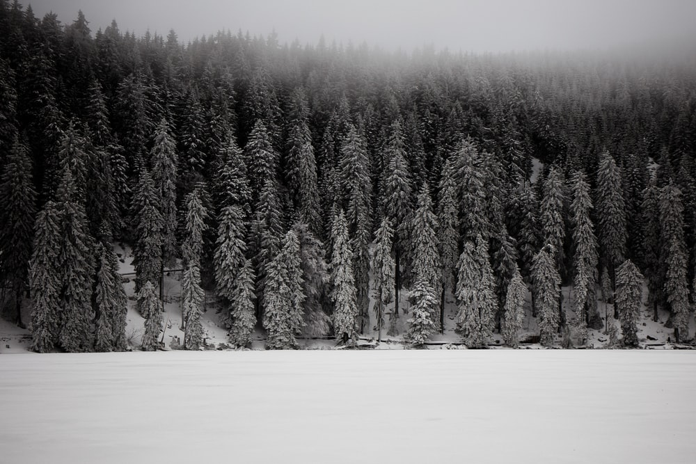 grayscale photo of snow covered pine trees