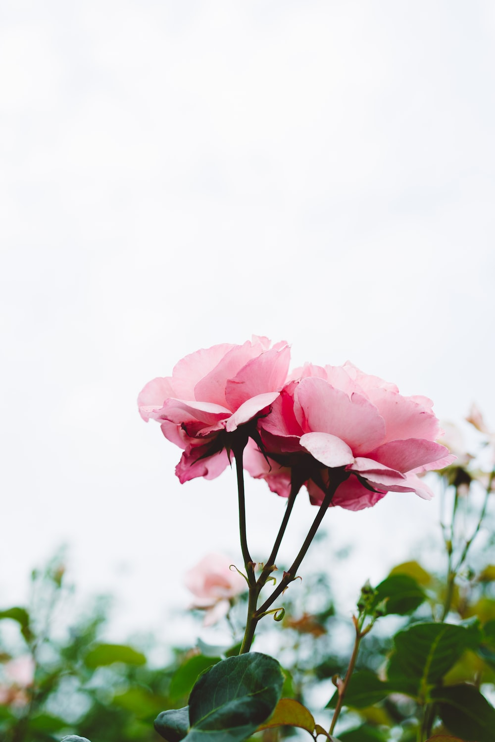 selective focus photography pink flowers