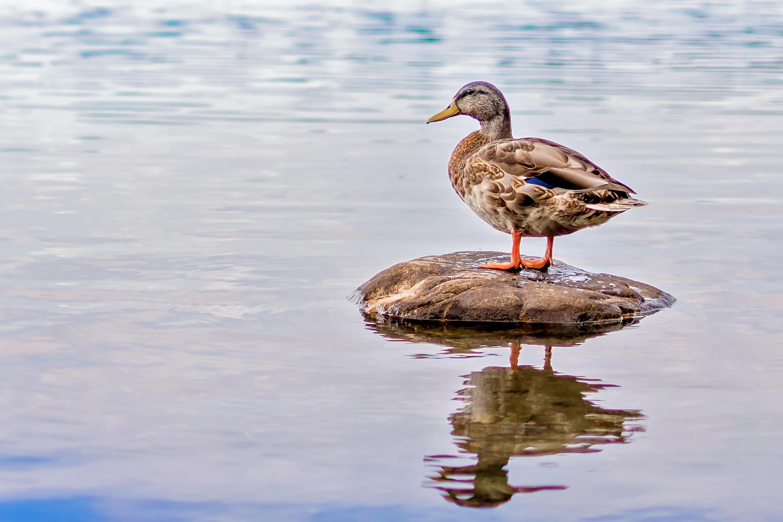 brown duck perch on black rock