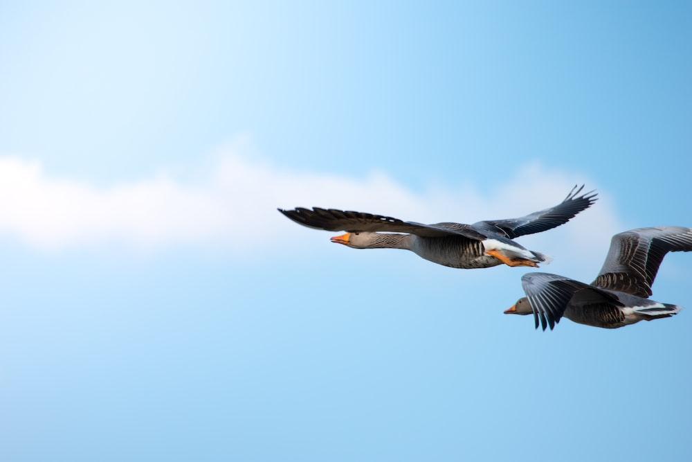 flight of two birds