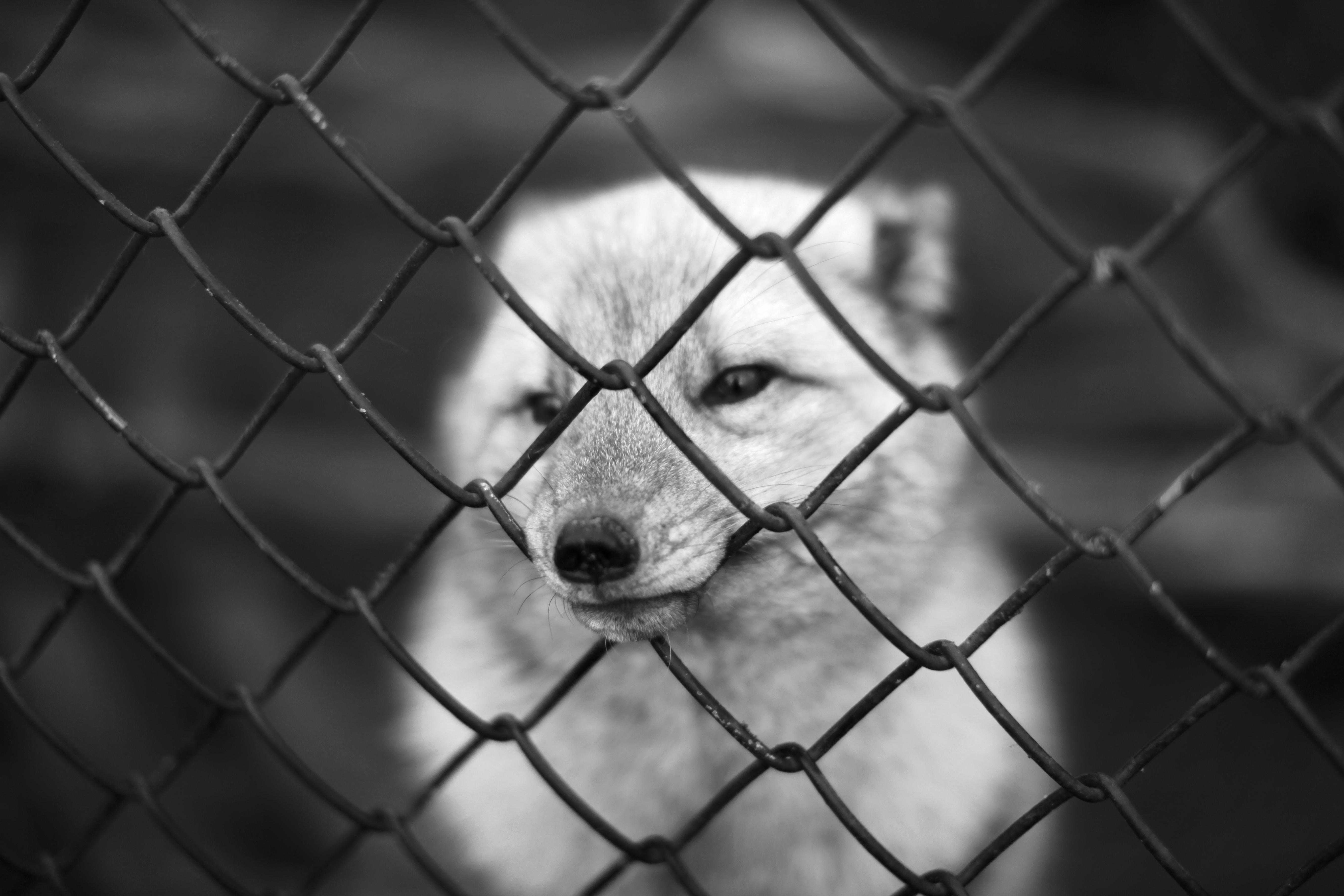dog facing gray metal chain link fence