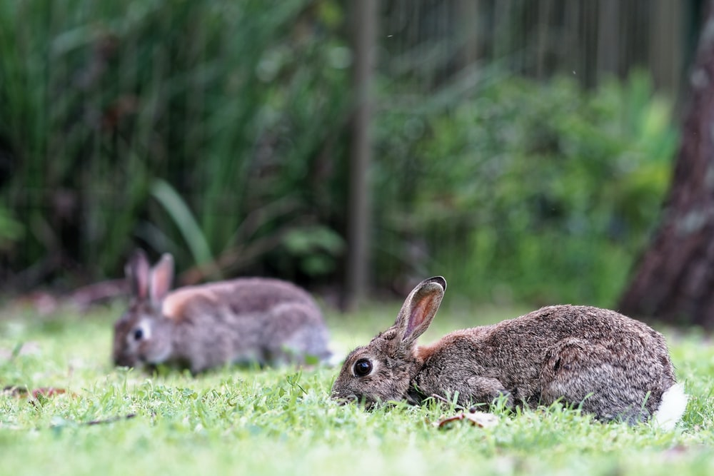 selective focus of brown rabbit on grass field