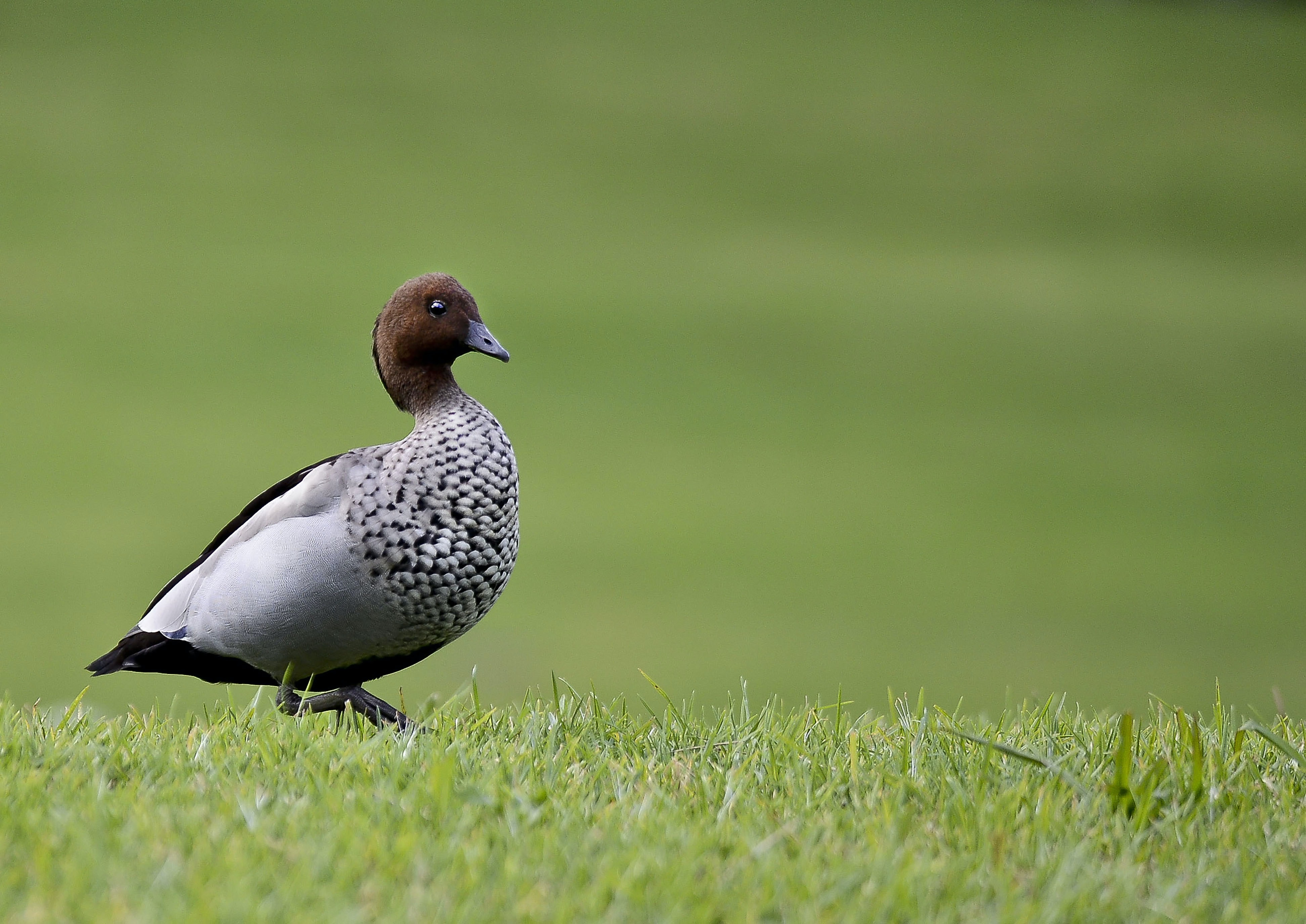 duck on grass field
