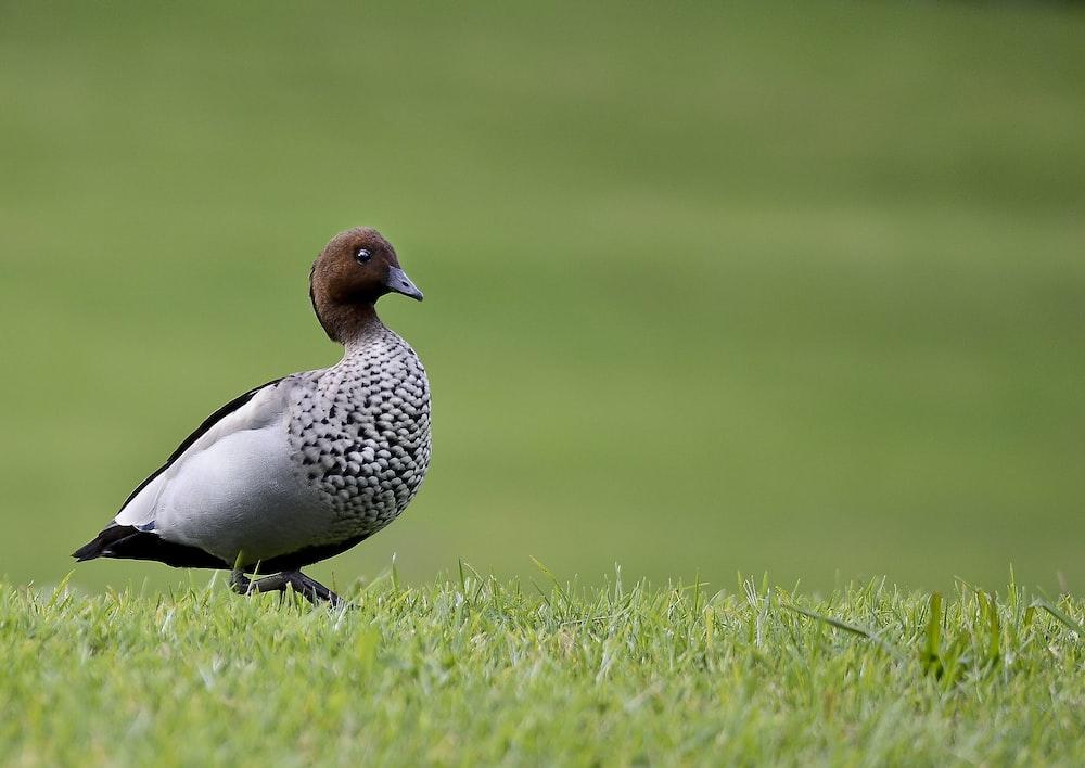 duck on grass field