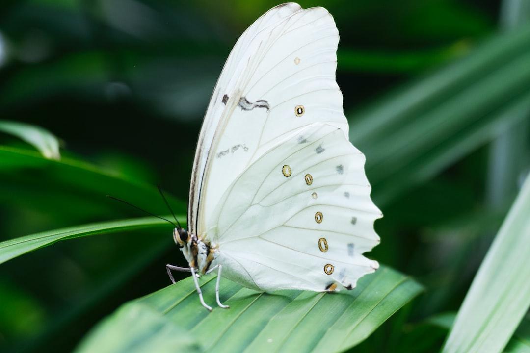 Bride Butterfly