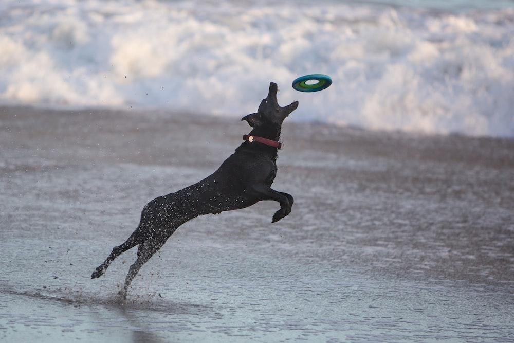 black dog catching frisbee