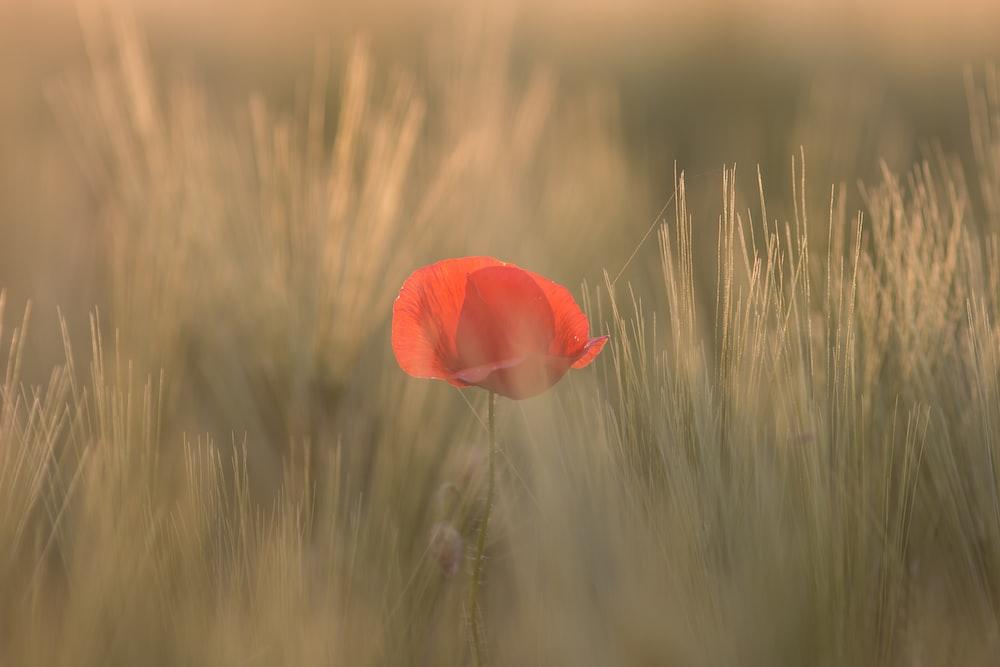 red petaled flower between grass
