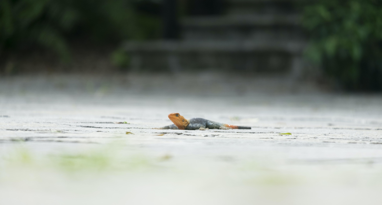 black and orange lizard on gray road