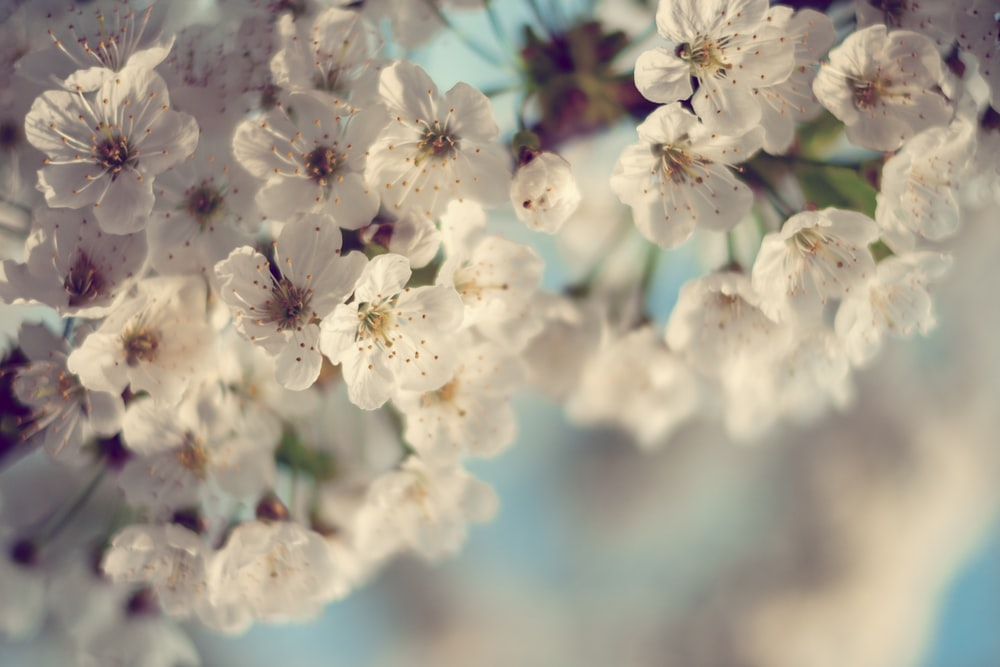 selective focused photo of cherry blossom tree