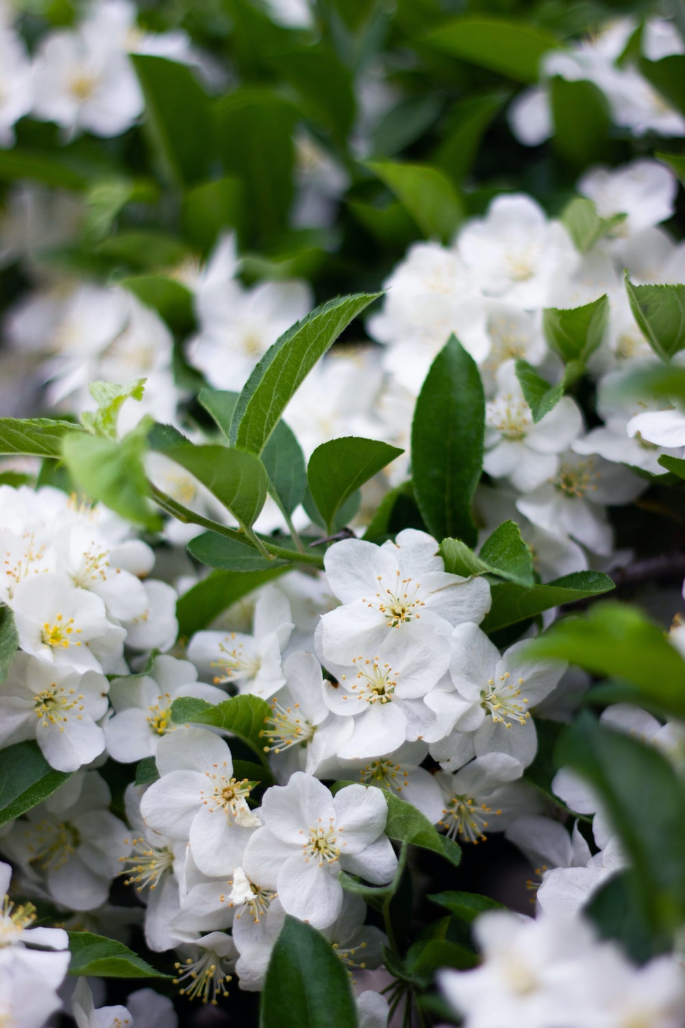 Stop And Smell The Rose Scented Flower Jasmine And Purity Hd Photo
