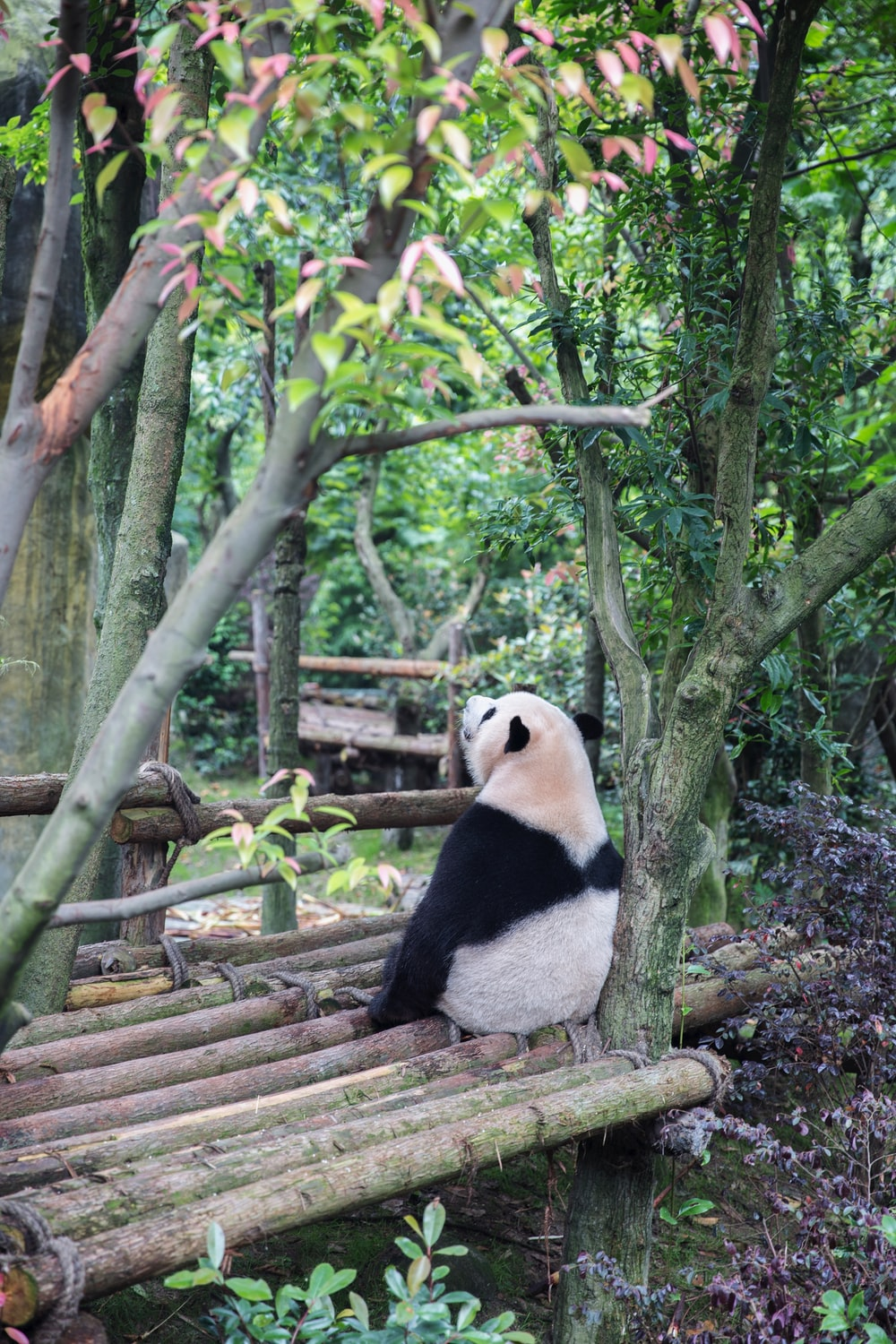 Panda bear sitting on bamboo sticks surrounded with trees