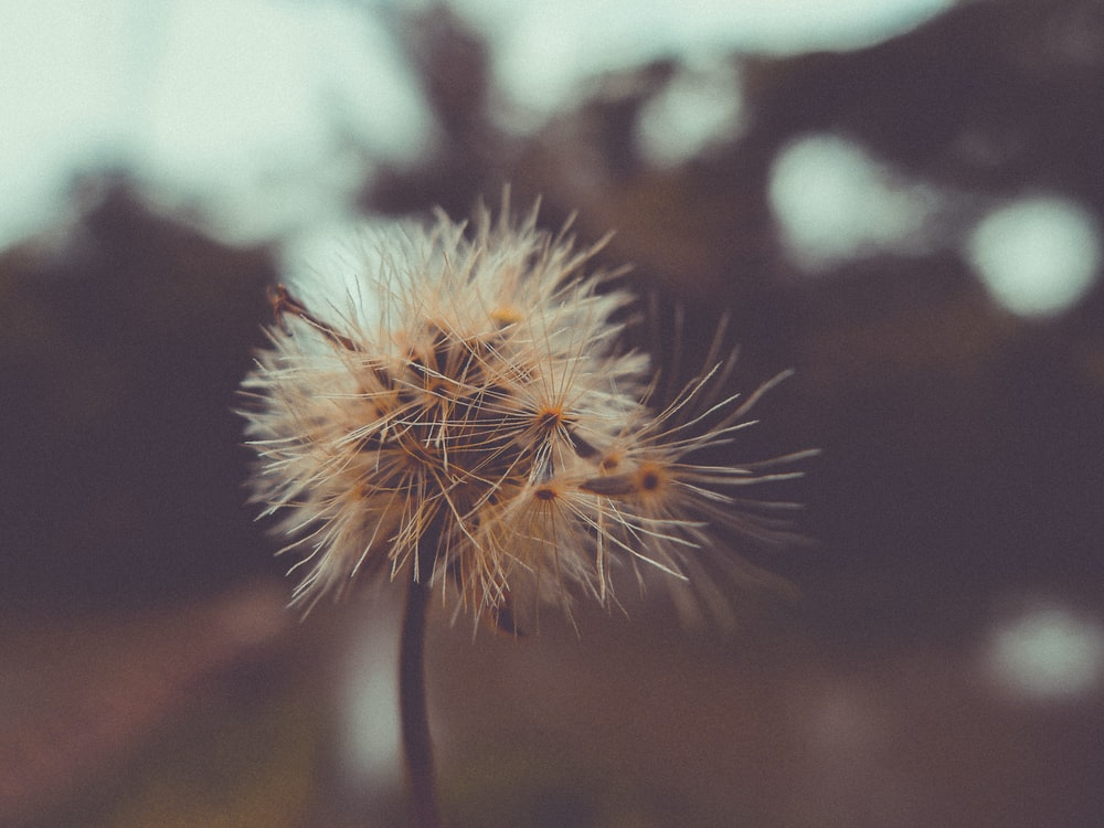 closeup photo of dandelion