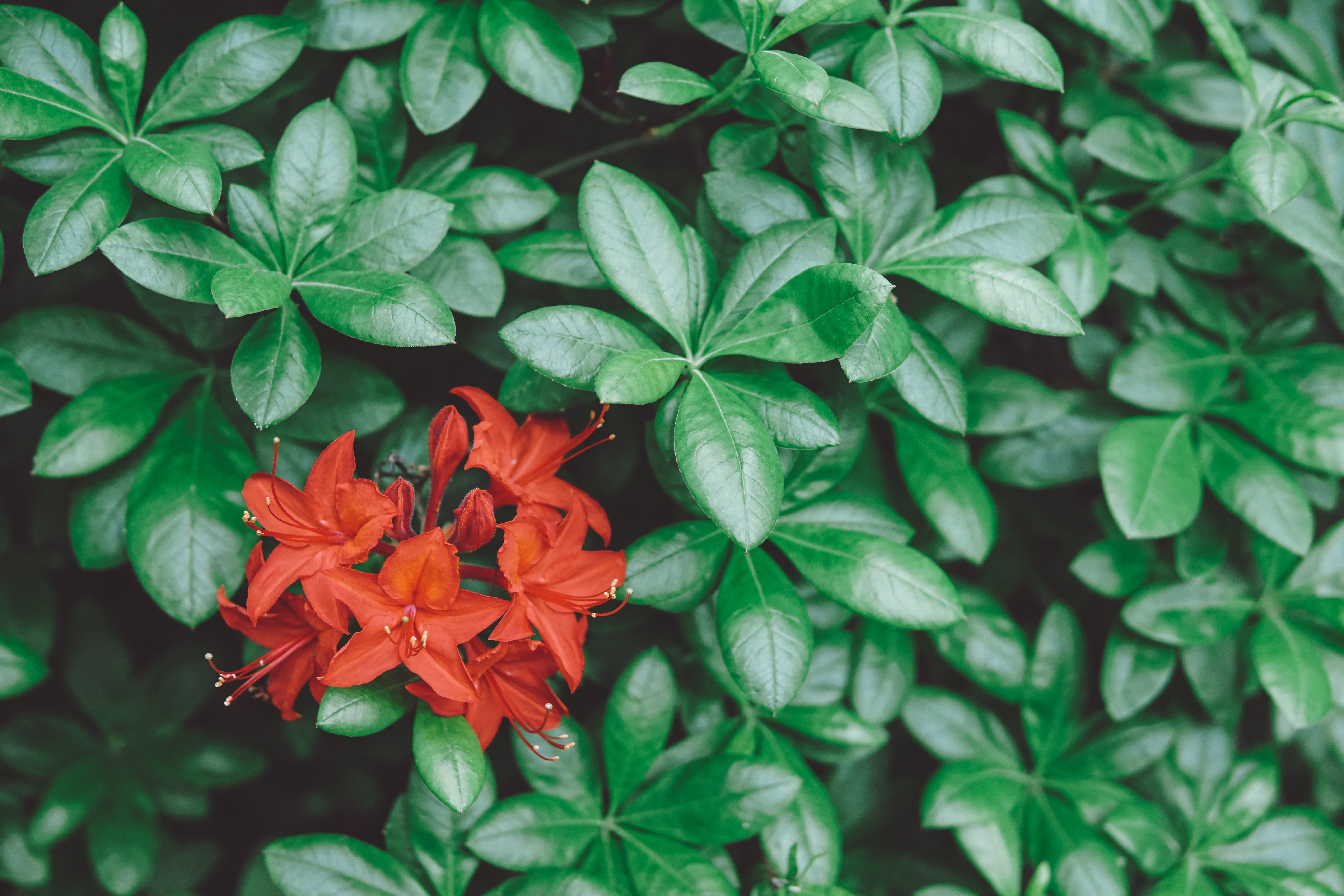 selective focus photography of red 5-petaled flowers