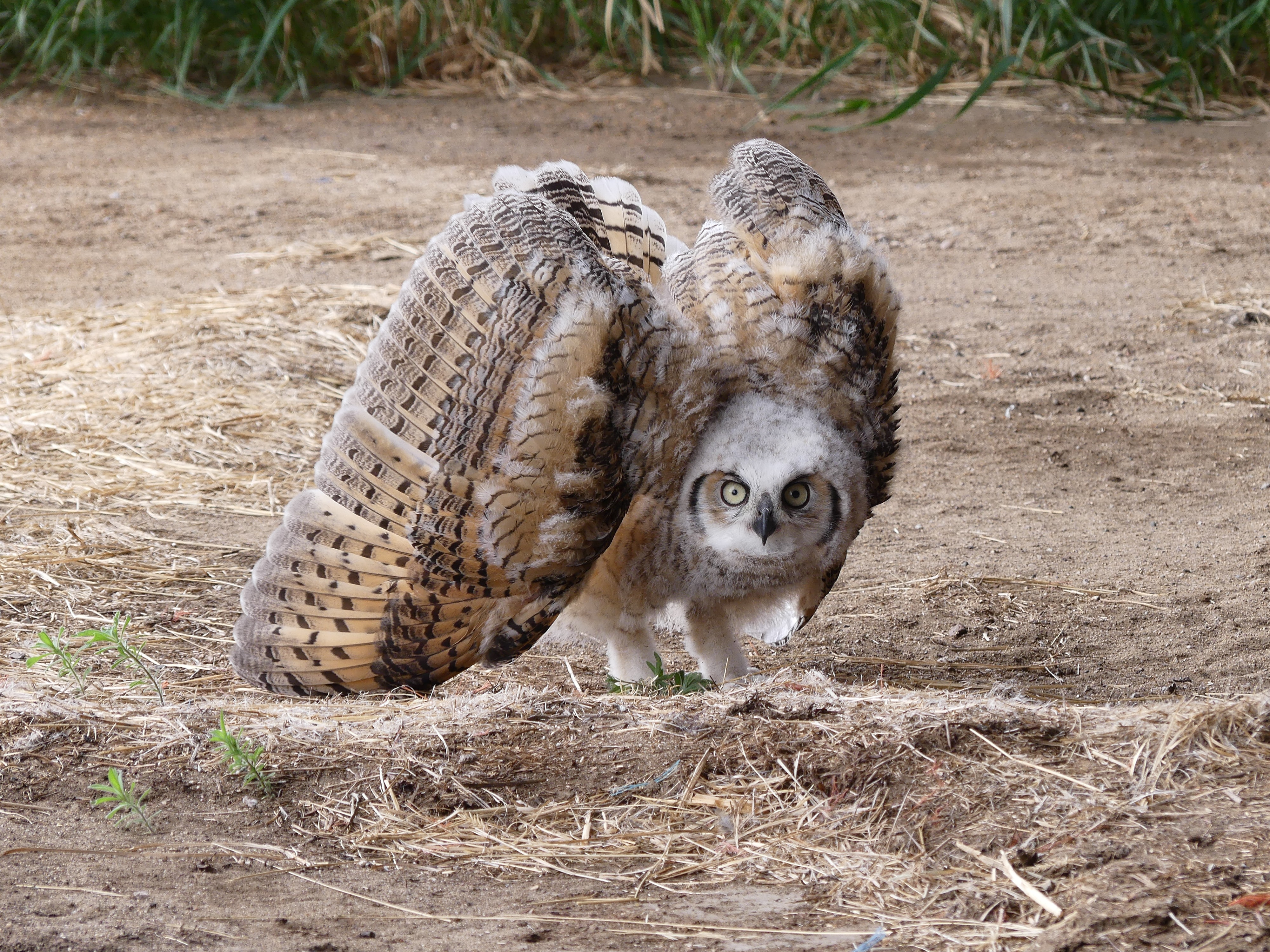 brown owl on ground