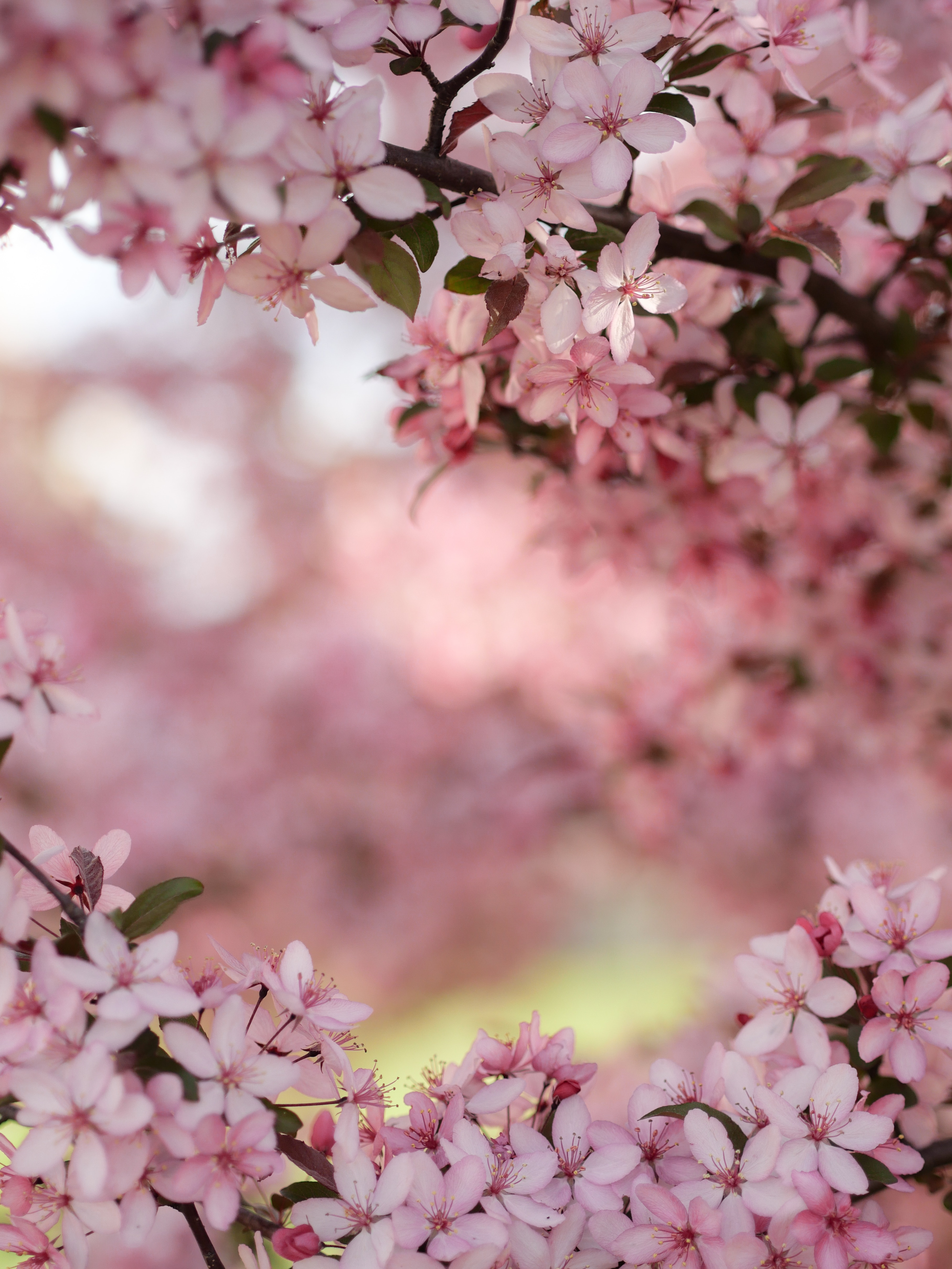 selective focus photography of cherry blossoms