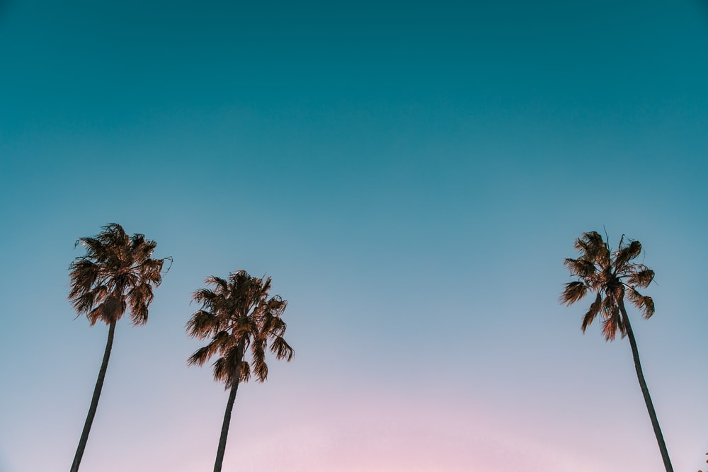 low-angle photograph of three palm trees under blue sky
