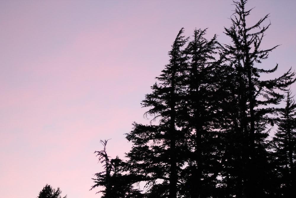 silhouette of pine tree