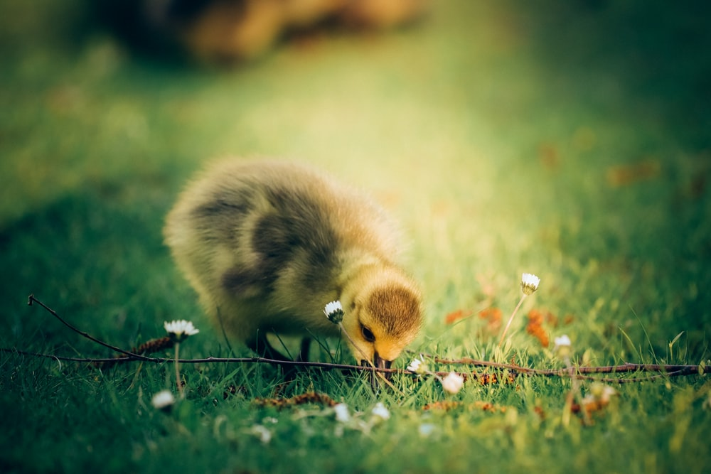 yellow chick biting grass photograph