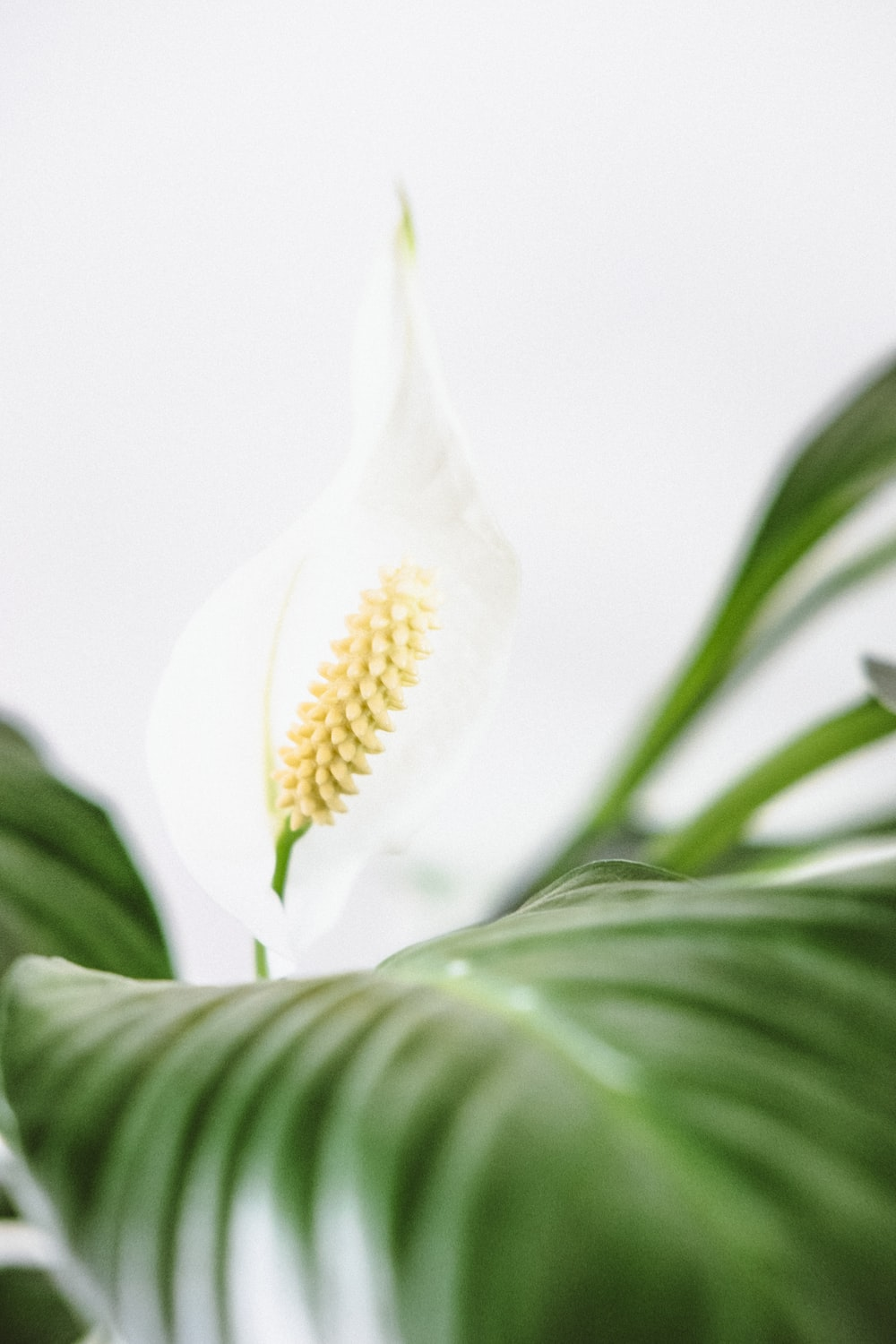 Peace lily pictures download free images on unsplash white calla lily izmirmasajfo