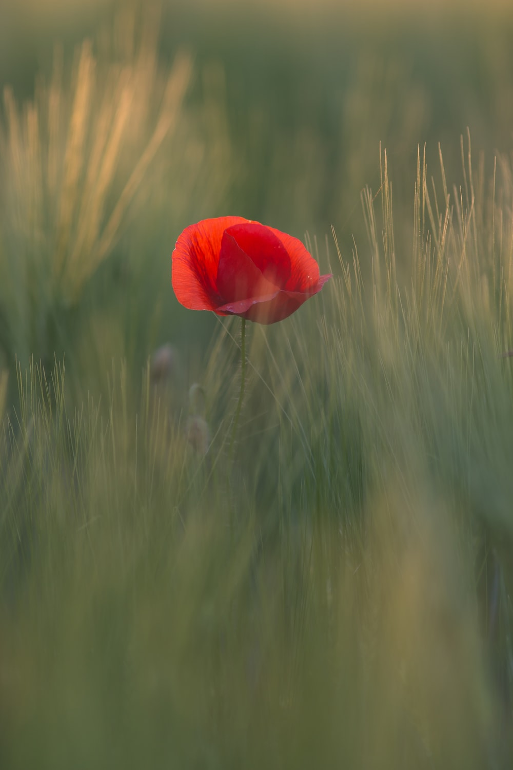 red poppy flower in bloom at daytime