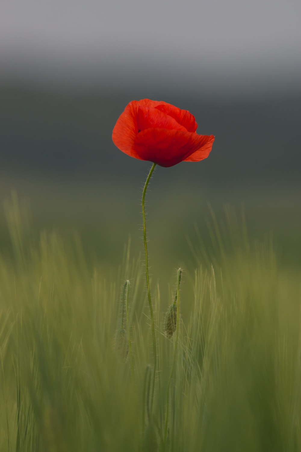 Poppy Flower Pictures Hd Download Free Images On Unsplash