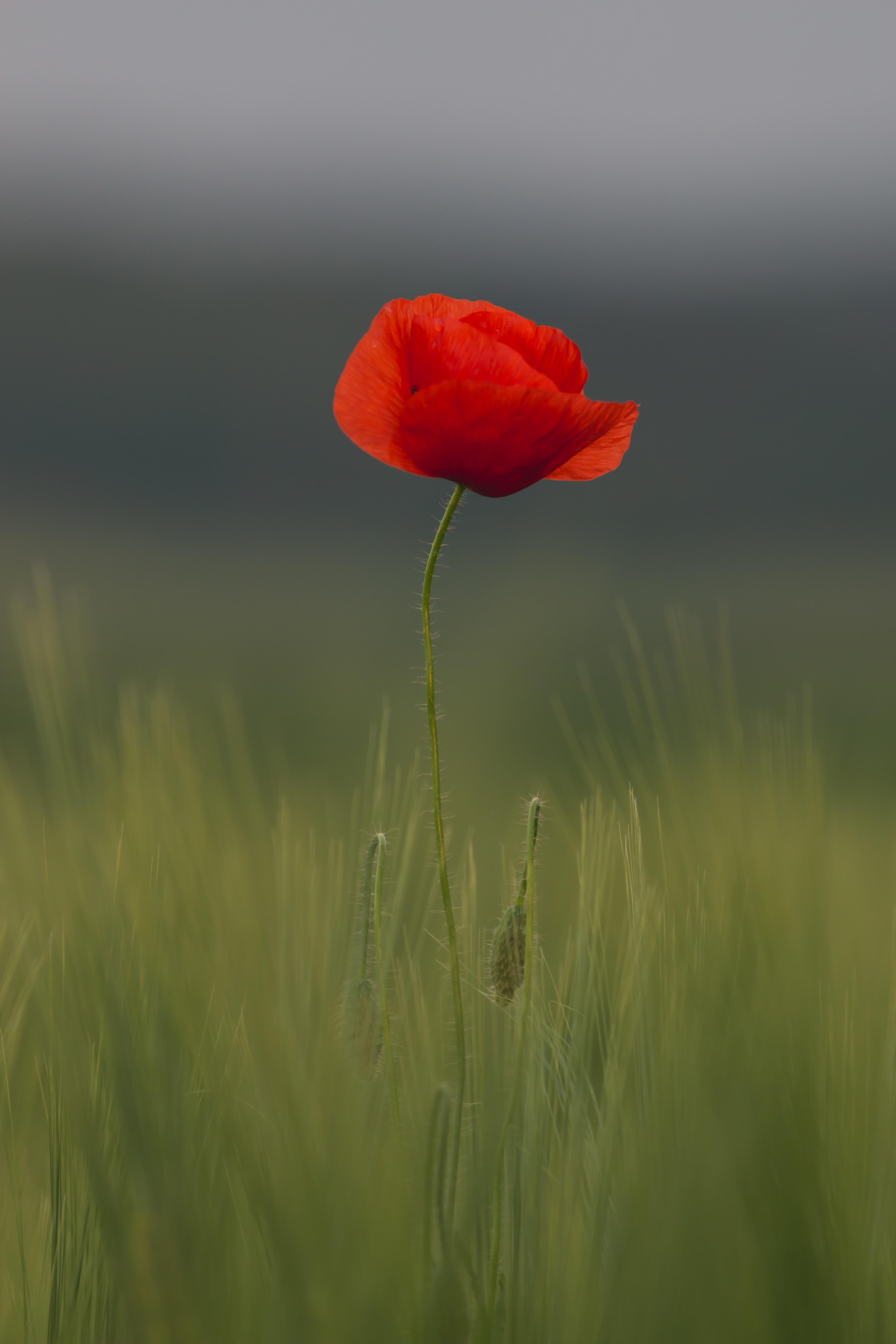 selective focus of common poppy flower
