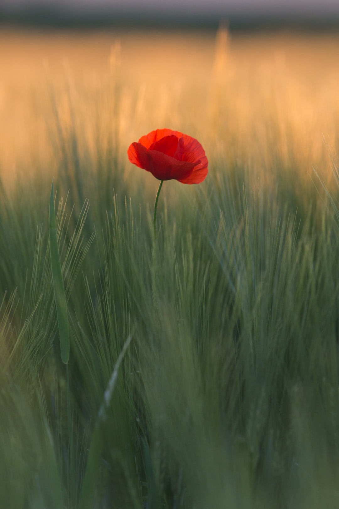 Shallow Focus Photo Of Red Flower Photo Free Grass Image
