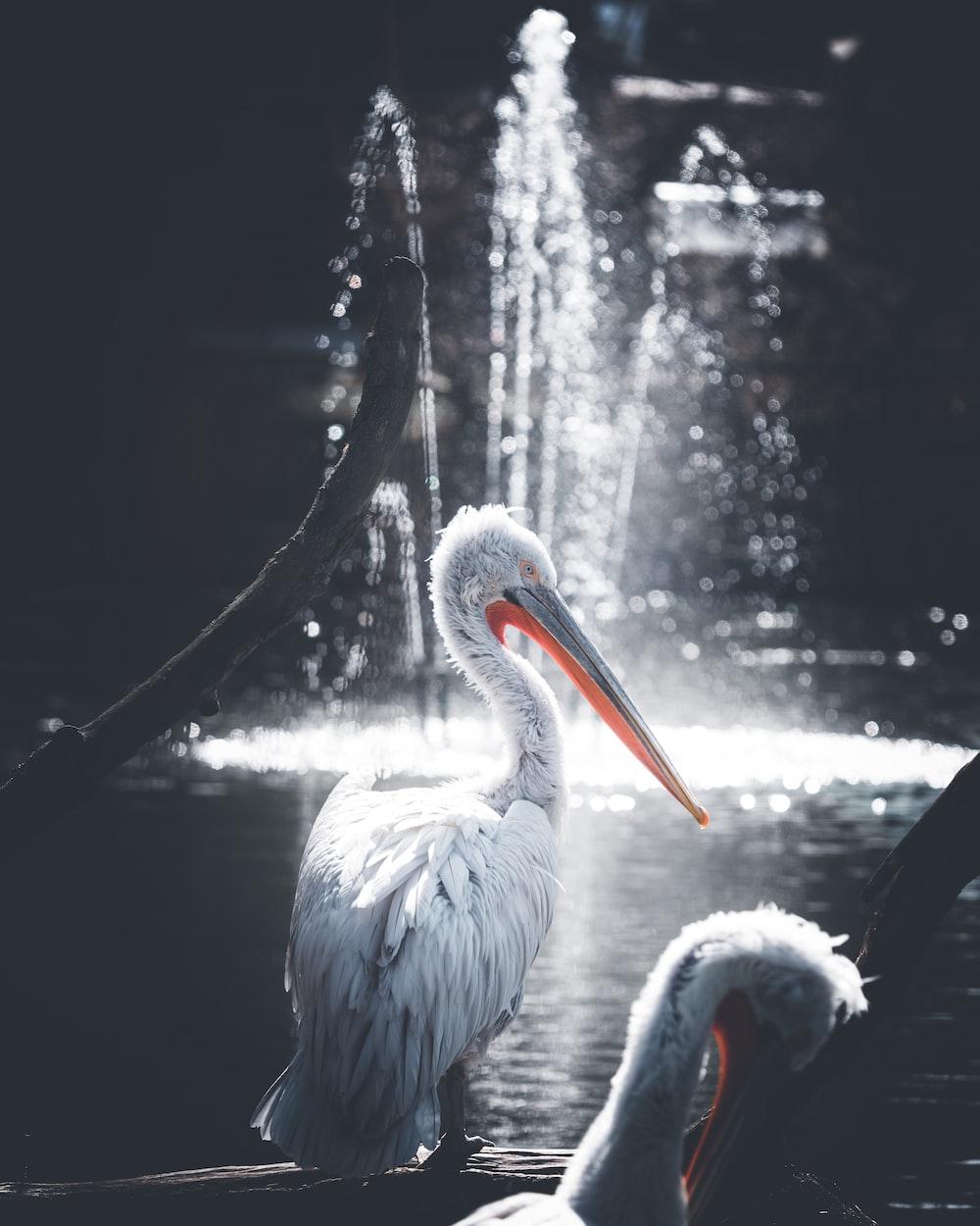 selective focus photography pelican bird