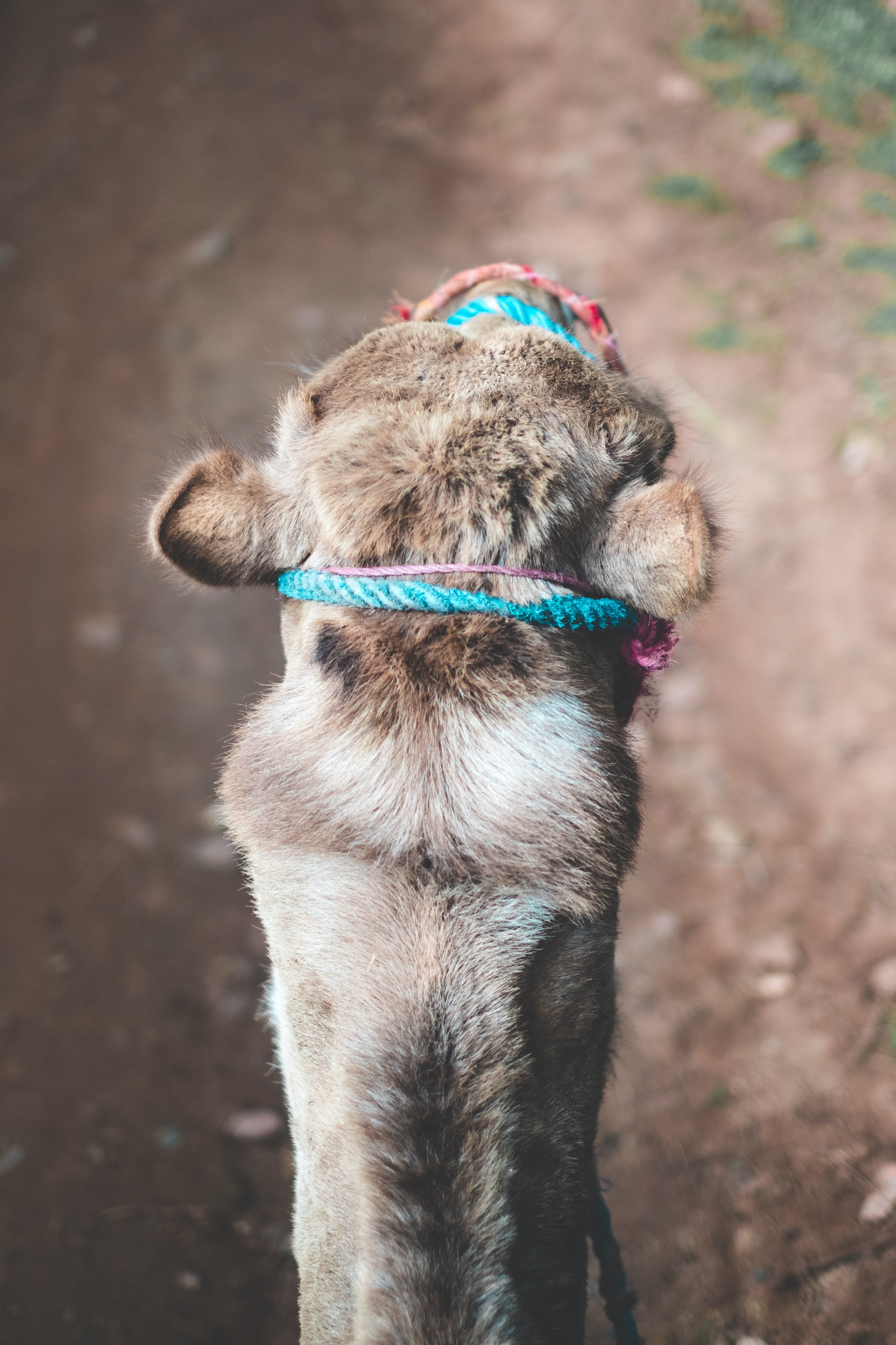 camel with rope on its head
