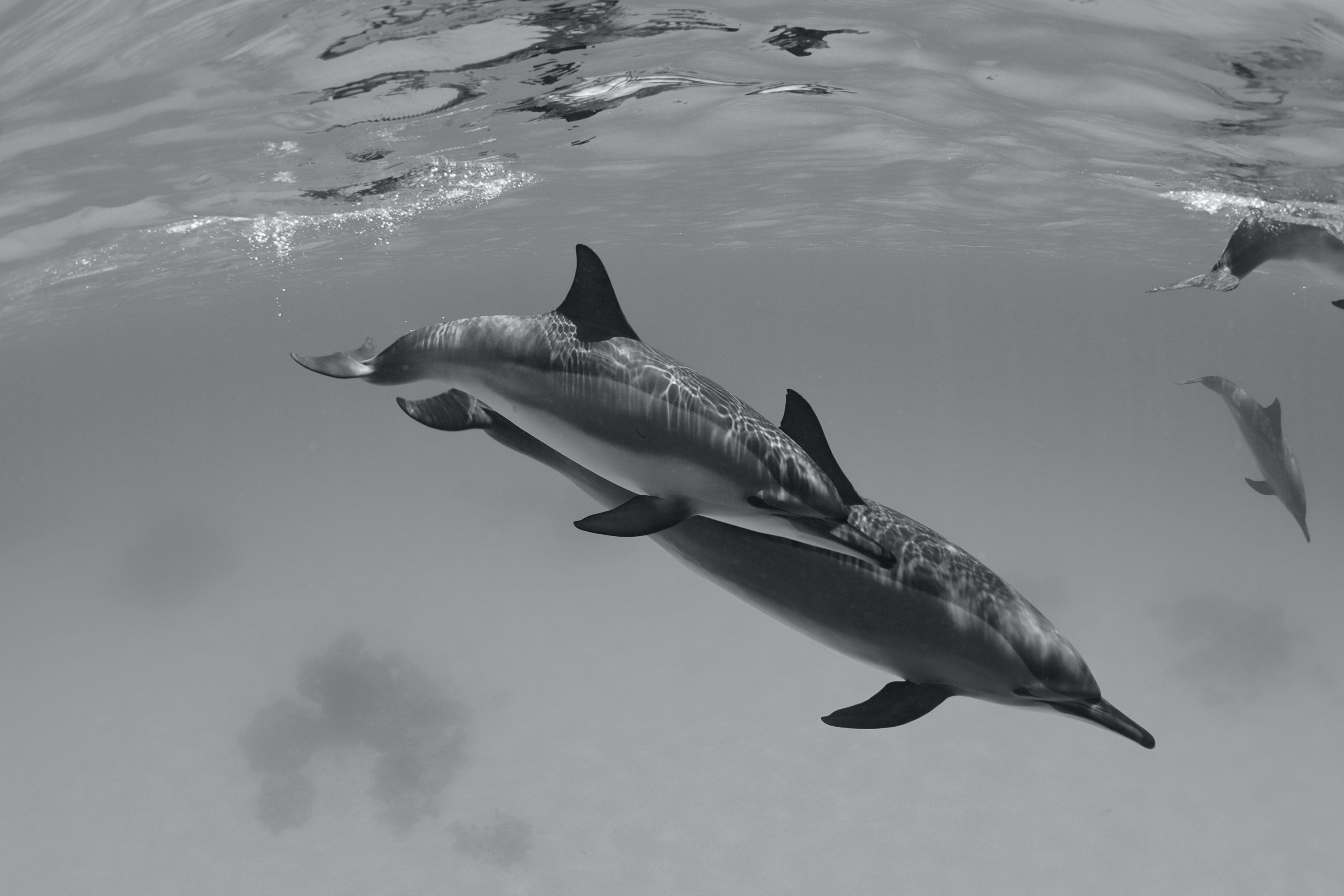 dolphin swimming under water