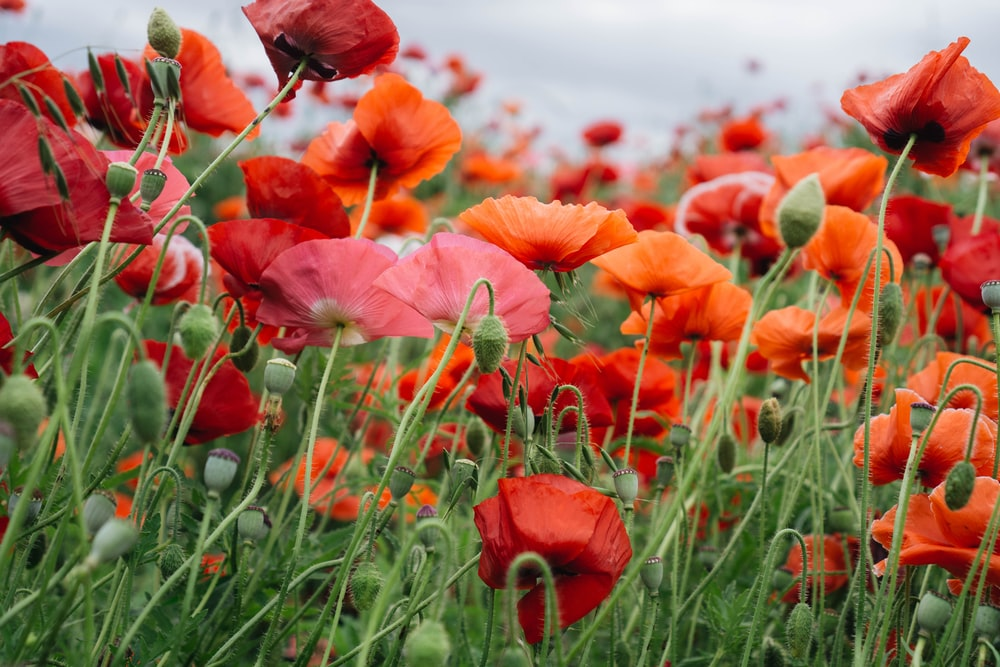 red, orange, and pink petaled flower field