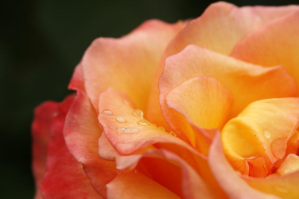 water drops on orange flower
