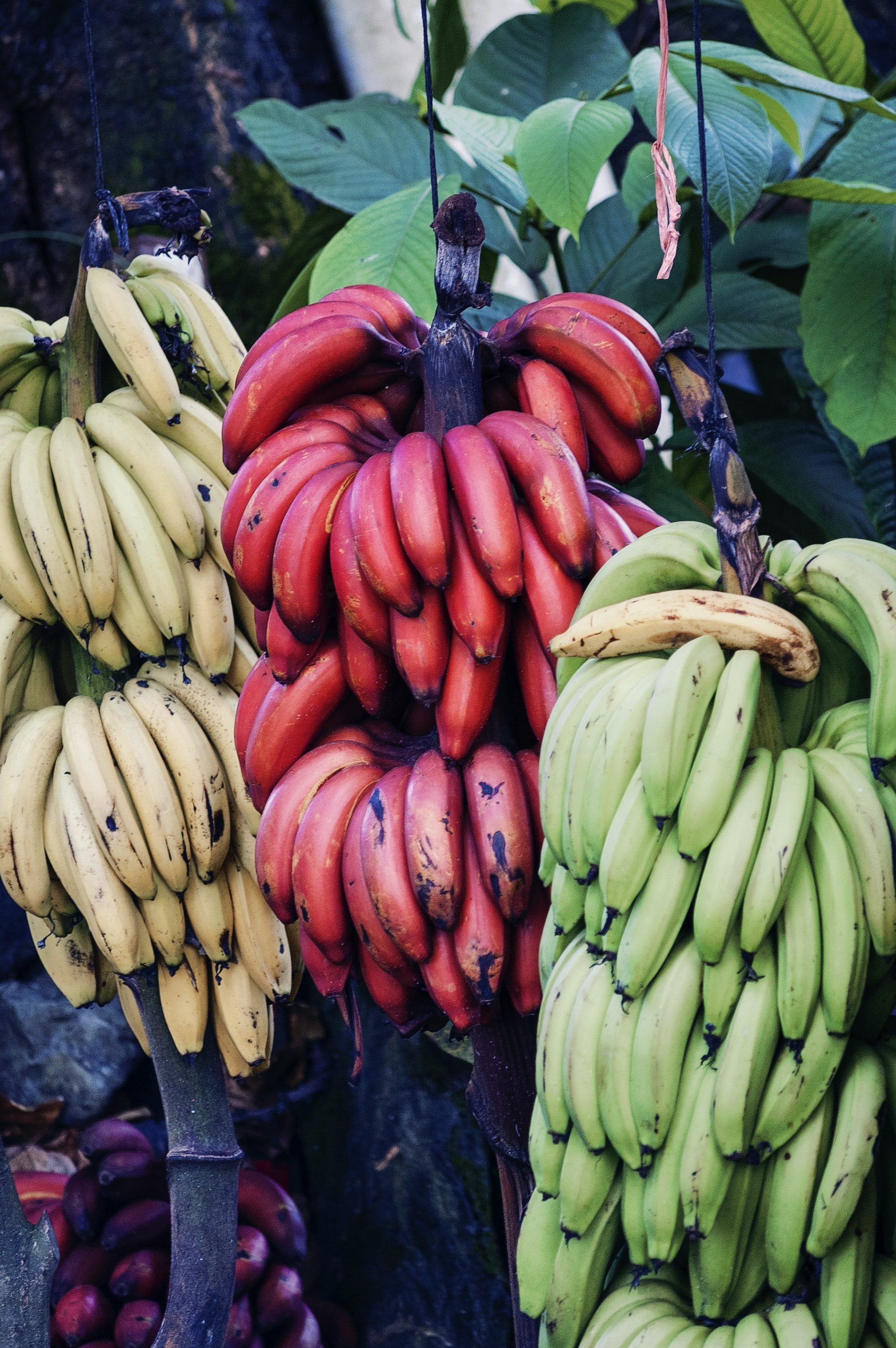 yellow, green, and red bananas hanging on tree