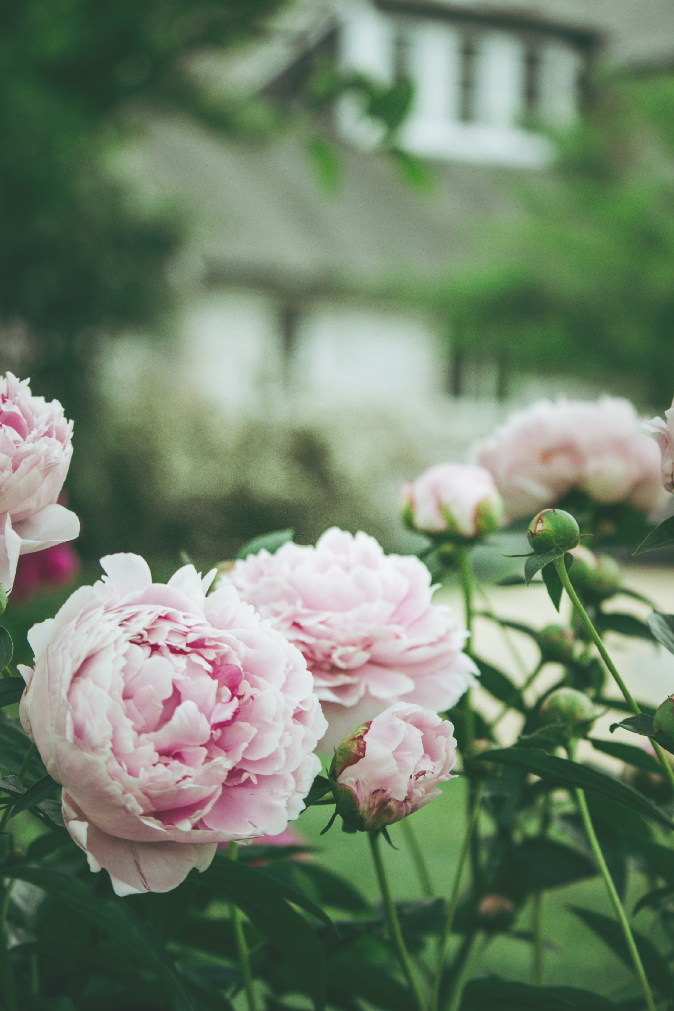 pink double petaled rose
