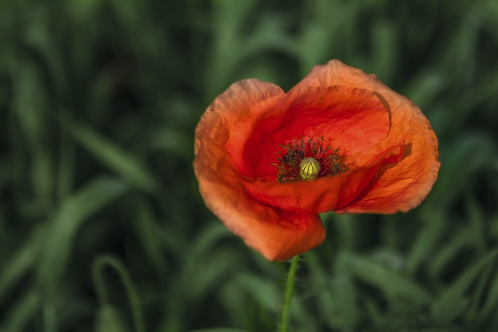 Poppy seed pictures download free images on unsplash red poppy flower mightylinksfo