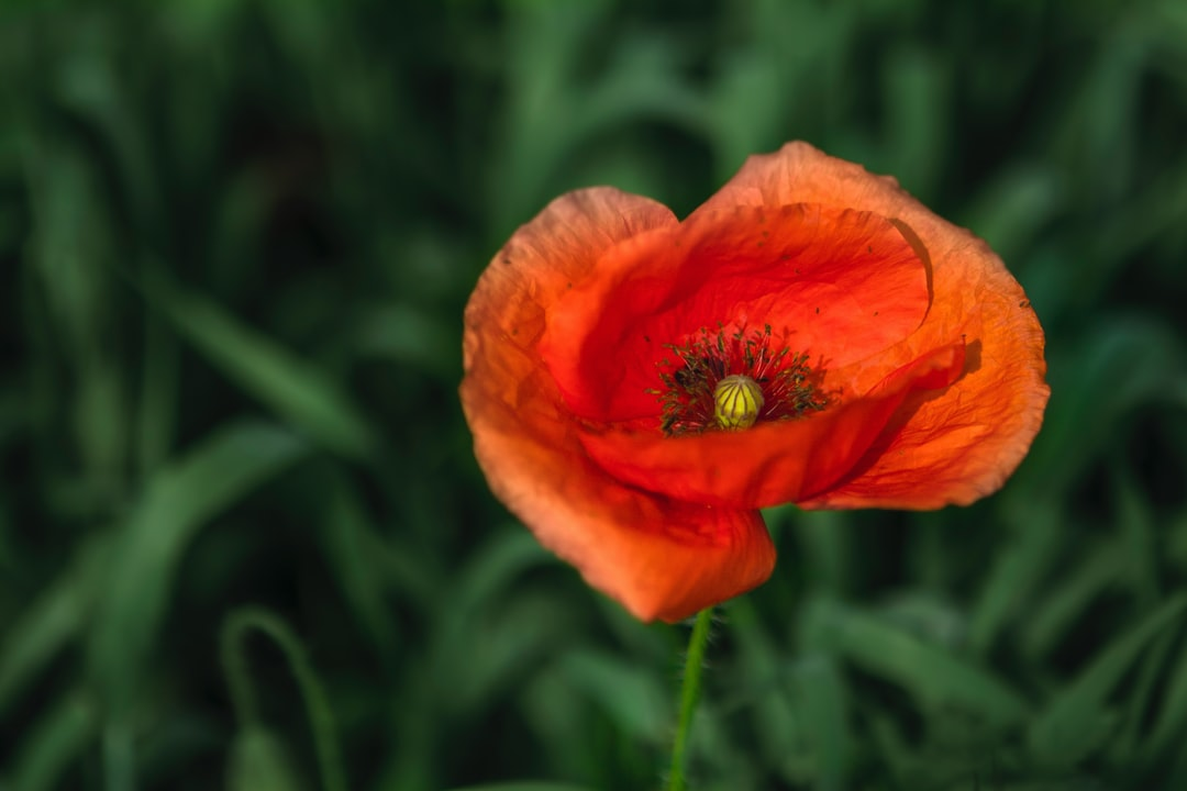 Just a red poppy