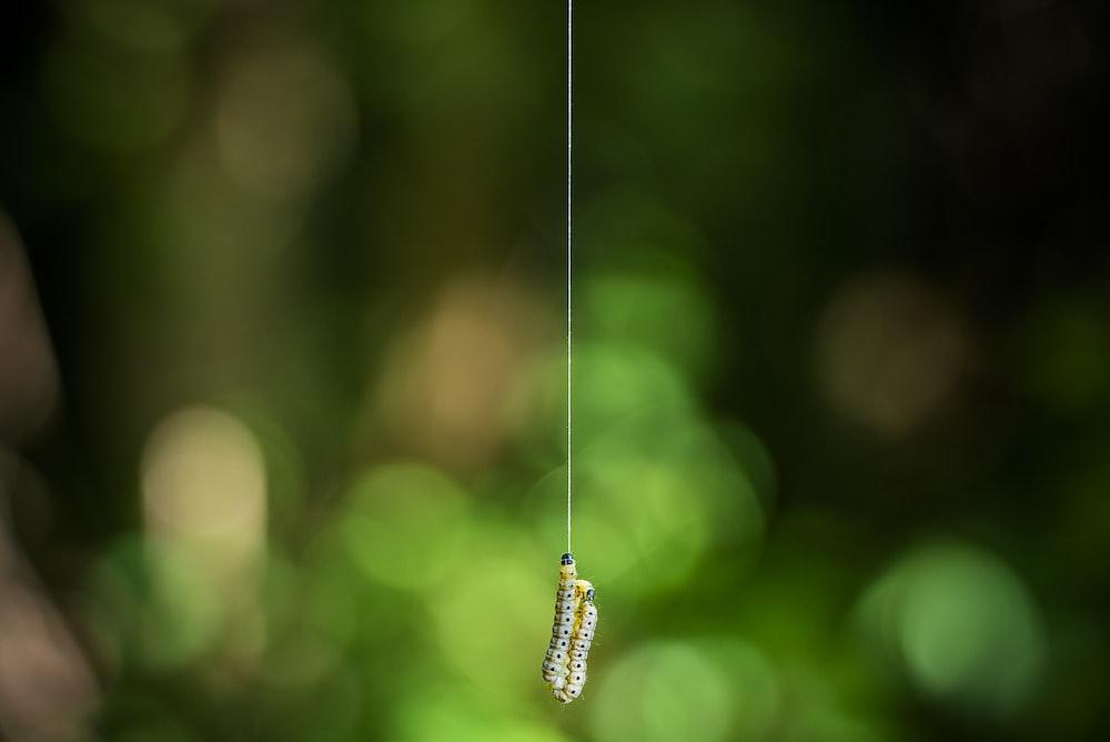 two yellow-and-white caterpillar hanging