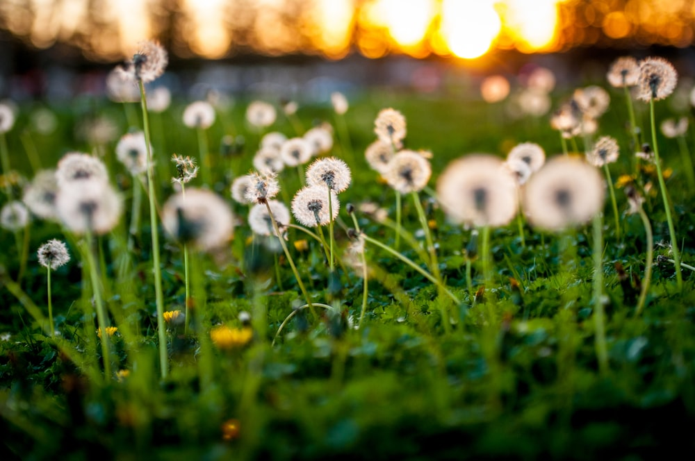 shallow focus photo of dandelion