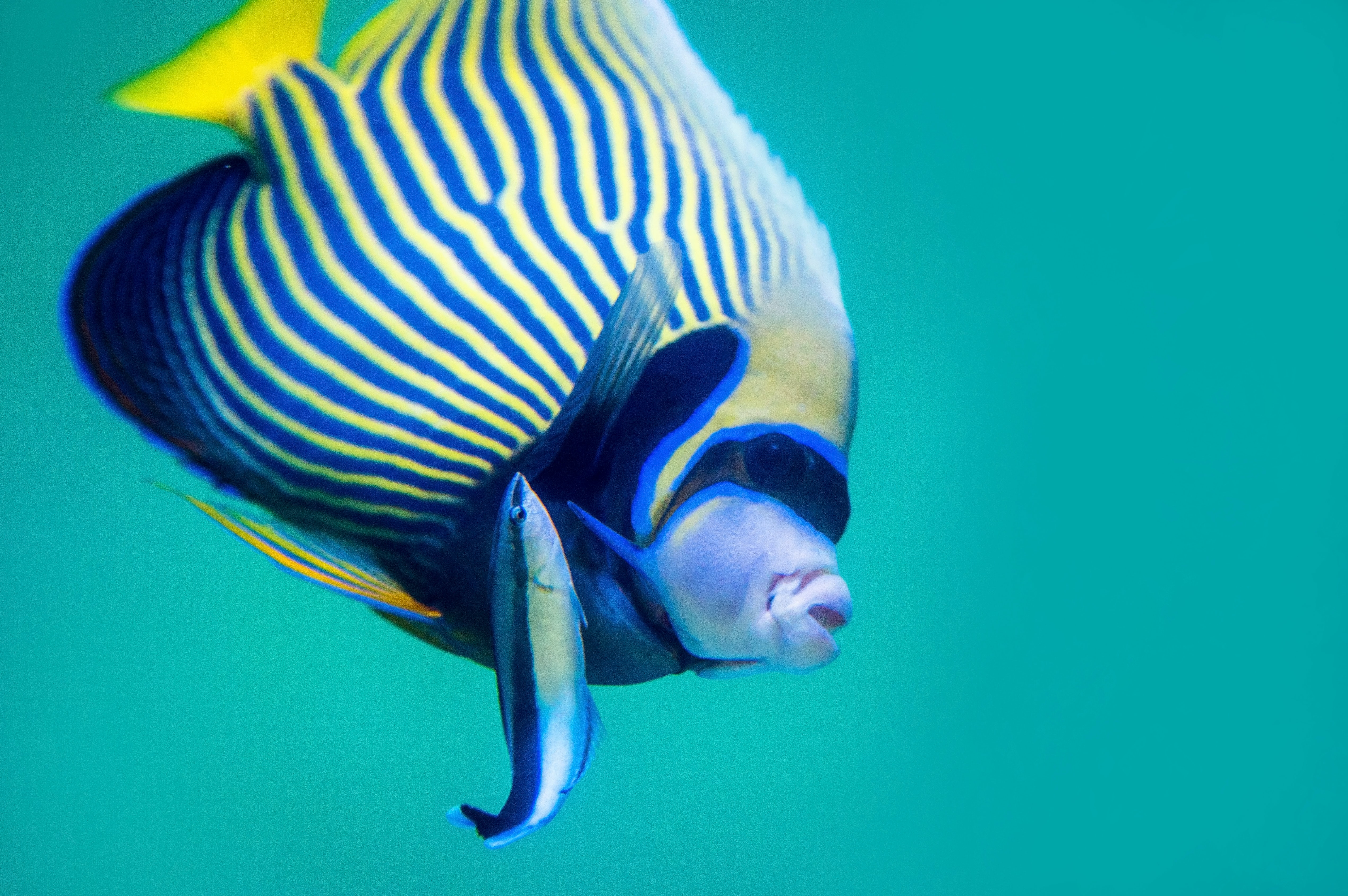 blue and yellow fish