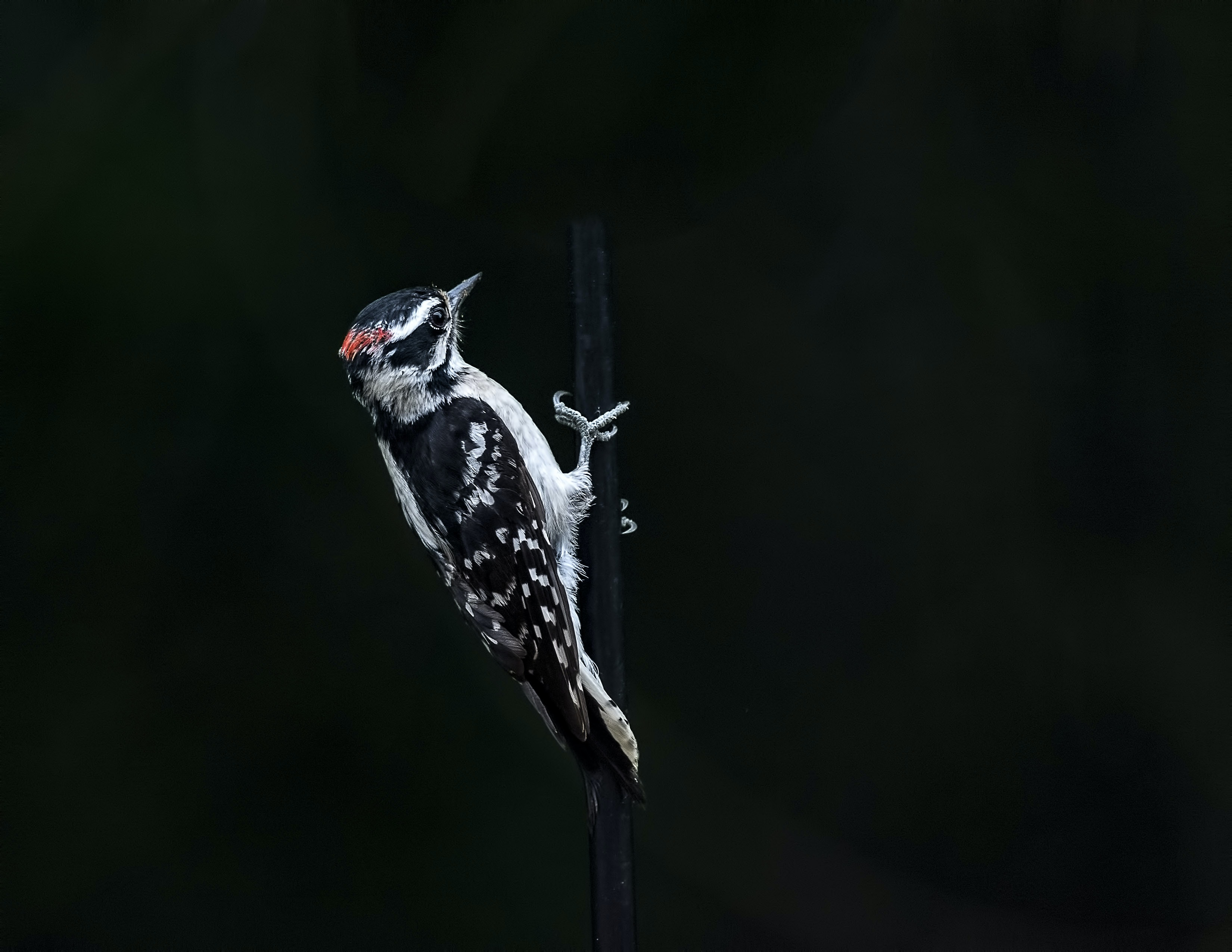 woodpecker on black background