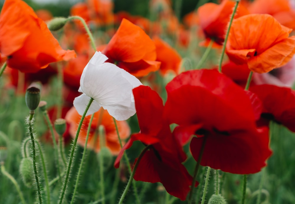 White Poppy Pictures | Download Free Images on Unsplash