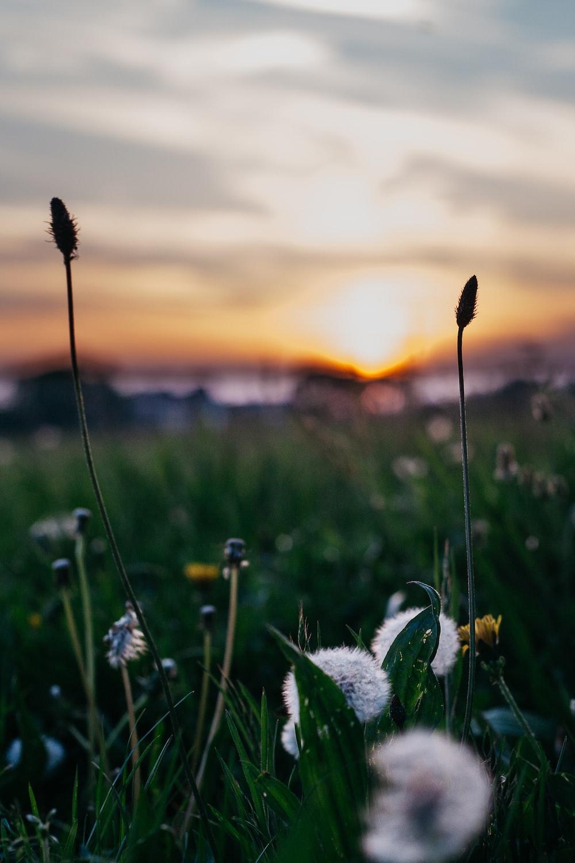 closeup photography of white dandelion